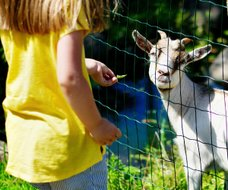 girl feeding a goat on a farm